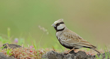 Ashy-crowned sparrow-lark Bird,birds,Aves,sparrow,sparrow-lark,Alaudidae,Passeriformes,on ground,perching,perched,close-up,male