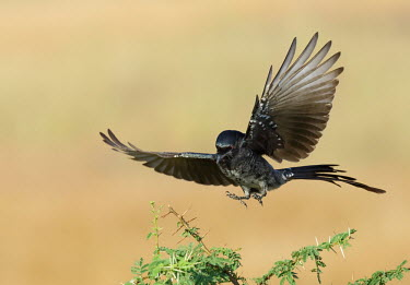 Black drongo landing Bird,birds,Aves,wings,flying,in flight,feathers,landing,drongos,Dicruridae,Passeriformes
