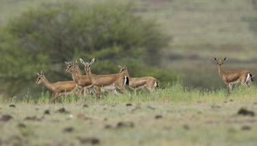 Chinkara group Indian gazelle,gazelles,gazelle,bovids,bovidae,Artiodactyla,Mammalia,mammals,mammal,male,horns,antlers