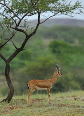 Male chinkara Indian gazelle,gazelles,gazelle,bovids,bovidae,Artiodactyla,Mammalia,mammals,male,antlers,horns