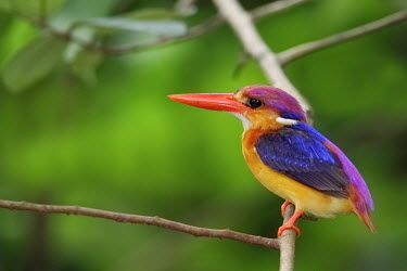 Oriental dwarf kingfisher perched on branch Bird,birds,aves,kingfishers,colour,colourful,bright,bill,face,blue,yellow,green
