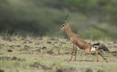 Male chinkara urinating Indian gazelle,gazelles,gazelle,bovids,bovidae,Artiodactyla,Mammalia,mammals,male,antlers,horns,urine,urinating