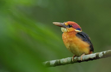 Oriental dwarf kingfisher juvenile perched on branch Bird,birds,aves,kingfishers,colour,colourful,bright,bill,face,blue,yellow,green,juvenile,perching,perched
