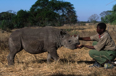 Orphaned baby black rhino - mother killed by poachers Africa,Conservation,rhino,rhinos,black rhino,black rhinos,black rhinoceros,Diceros bicornis,Zimbabwe,orphan,orphaned,baby,killed,poacher,poachers,poached,care,carer,feed,young,infant,profile,threat,th