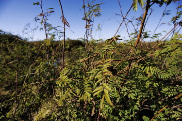 Black Mimosa - invasive plant on floodplains Africa,Conservation,plant,plants,invasive,weed,weeds,Plantae,Angiosperms,Eudicots,Rosids,Fabales,Fabaceae,Mimosoideae,Mimosa,black mimosa,giant sensitive tree,invasive species,dense,thorny,impenetrabl