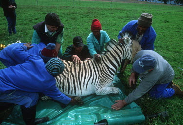 Quagga Project - tranquillized zebra being translocated as part of Quagga re-breeding project. Africa,Conservation,quagga,quaggas,quagga project,plains zebra,Equus quagga,Equus quagga quagga,re-breeding,subspecies,Extinct,stripes,pattern,coat,southern Africa,South Africa,zebra,zebras,adult,plai