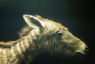 Quagga Foal - hunted to extinction in the 1870s. S.A. Museum specimen. Africa,Conservation,quagga,quaggas,Equus quagga quagga,subspecies,Extinct,stripes,pattern,coat,southern Africa,South Africa,zebra,zebras,museum,specimen,close-up,close up,Mammalia,Mammals,Equidae,Hors