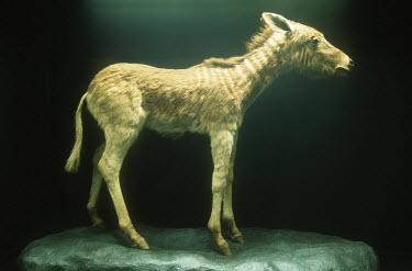 Quagga Foal - hunted to extinction in the 1870s. S.A. Museum specimen. Africa,Conservation,quagga,quaggas,Equus quagga quagga,subspecies,Extinct,stripes,pattern,coat,southern Africa,South Africa,zebra,zebras,museum,specimen,Mammalia,Mammals,Equidae,Horses, Donkeys, Zebra