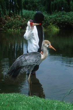 Wattled Crane. Captive breeding project. Fed by puppet to avoid imprinting by humans. Africa,Conservation,Grus carunculata,Bugeranus carunculatus,bird,birds,crane,cranes,imprinting,imprint,young,juvenile,spoonfed,spoon,feeding,captive,breeding,project,puppet,hand puppet,water,rearing,p