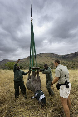 Black rhinoceros being prepared for airlift by helicopter. Capture officer Jed Bird supervising the airlift. Africa,Conservation,rhino,rhinos,black rhino,black rhinos,black rhinoceros,Diceros bicornis,mammal,mammals,translocation,helicopter,airlift,airlifted,capture,captive,people,habitat,ropes,upside down,h