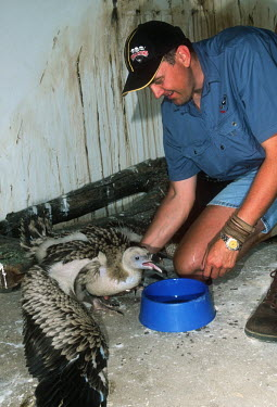 Cape Vulture Chick. Captive breeding project. Endangered Wildlife Trust Africa,Conservation,vulture,vultures,bird,birds,Gyps coprotheres,Gyps,Captive breeding project,breeding,project,captive,endangered,wildlife,chick,calling,people,Aves,Birds,Accipitridae,Hawks, Eagles,