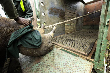 Black rhinoceros being loaded into a crate for translocation Africa,Conservation,rhino,rhinos,black rhino,black rhinos,black rhinoceros,Diceros bicornis,mammal,mammals,translocation,airlift,airlifted,capture,captive,ropes,covered,people,move,crate,pull,pulled,M