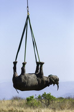 Black rhinoceros being lowered by helicopter after airlift Africa,Conservation,rhino,rhinos,black rhino,black rhinos,black rhinoceros,Diceros bicornis,mammal,mammals,translocation,helicopter,airlift,airlifted,capture,captive,ropes,lowered,hang,hanging,Mammali