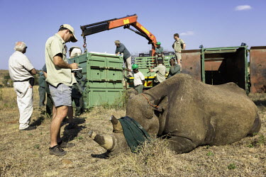 Black rhinoceros being released into a protected area Africa,Conservation,rhino,rhinos,black rhino,black rhinos,black rhinoceros,Diceros bicornis,mammal,mammals,translocation,capture,captive,people,protected area,release,crate,blindfold,protect,protected