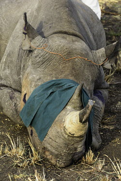 Black Rhinoceros that has been tranquilized Africa,Conservation,rhino,rhinos,black rhino,black rhinos,black rhinoceros,Diceros bicornis,mammal,mammals,translocation,capture,captive,people,protected area,release,crate,blindfold,protect,protected