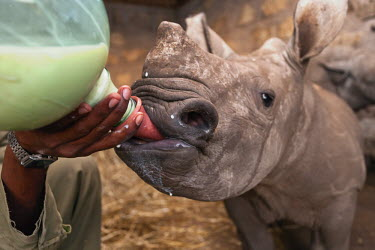 Young rhinoceros being fed milk by hand Africa,Conservation,rhino,rhinos,white rhino,white rhinos,white rhinoceros,mammal,mammals,captive,protect,protected,young,fed,milk,hand rear,hand reared,bottle,bottle fed,shallow focus,drip,dribble,ca