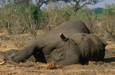 African elephant killed by poachers Africa,Conservation,issue,issues,conservation issues,conservation issue,threat,threatened,elephant,elephants,African elephant,mammal,mammals,killed,dead,poached,poach,poacher,poachers,tusk,tusks,Eleph