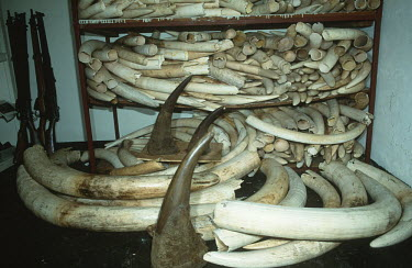 Confiscated elephant ivory and rhino horn Africa,Conservation,issue,issues,conservation issues,conservation issue,threat,threatened,ivory,confiscated,CITES,trade,endangered species,endangered,rifle,rifles,horn,horns,tusk,tusks,pile,shelves,El