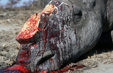 White rhino killed by poachers for horn Africa,Conservation,issue,issues,conservation issues,conservation issue,threat,threatened,rhino,rhinos,white rhino,white rhinos,white rhinoceros,Ceratotherium simum,mammal,mammals,killed,dead,poached,