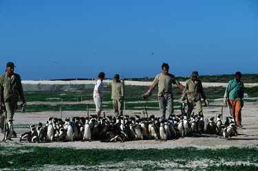 Rescue personnel catching oiled pengions Africa,Conservation,issue,issues,conservation issues,conservation issue,threat,threatened,Jackass penguin,black-footed penguin,African penguin,penguin,penguins,bird,birds,pollution,environmental,disas