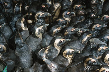 Oiled African penguins in holding pens waiting to be cleaned Africa,Conservation,issue,issues,conservation issues,conservation issue,threat,threatened,Jackass penguin,black-footed penguin,African penguin,penguin,penguins,bird,birds,pollution,environmental,disas