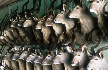 Conservation Issues: mounted Kudu heads in taxidermy shop Africa,Conservation,issue,issues,conservation issues,conservation issue,threat,threatened,taxidermy,stuffed,trophy,hunt,hunted,hunting,trophy hunting,horn,horns,heads,mount,mounted,antelope,antelopes,