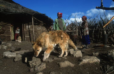 Conservation Issues: domestic dogs are the main carriers of rabies and other diseases that infect Ethiopian wolves Africa,Conservation,issue,issues,conservation issues,conservation issue,threat,threatened,disease,diseases,carrier,carriers,rabies,infect,infections,infection,dog,dogs,domestic dog,domestic dogs,domes