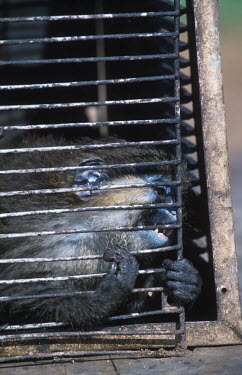 Conservation Issues: mustached monkey in cage for sale at market Africa,Conservation,issue,issues,conservation issues,conservation issue,threat,threatened,sale,for sale,market,monkey,captive,capture,cage,bars,mustached monkey,chew,teeth