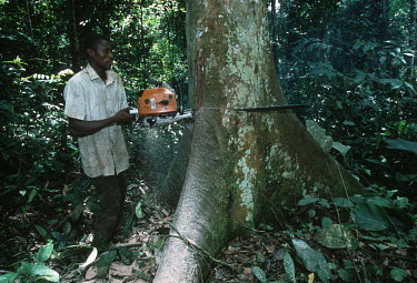 Conservation Issues: subsistence farmers cut down rainforest trees to make wooden planks for building. Africa,Conservation,issue,issues,conservation issues,conservation issue,threat,threatened,logging,logged,log,logs,rainforest,rainforests,forest,forests,export,cut,timber,tree,trees,trunk,trunks,people