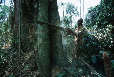 Conservation Issues: commercial logger cuts down rainforest tree in Gabon Africa,Conservation,issue,issues,conservation issues,conservation issue,threat,threatened,logging,logged,log,logs,rainforest,rainforests,forest,forests,export,cut,timber,tree,trees,trunk,trunks,people