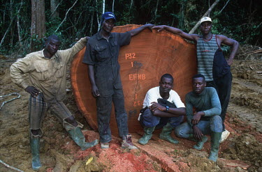 Conservation Issues: commercial loggers pose next to a large tree they have cut down Africa,Conservation,issue,issues,conservation issues,conservation issue,threat,threatened,logging,logged,log,logs,rainforest,rainforests,forest,forests,export,cut,timber,tree,trees,trunk,trunks,people