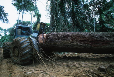 Conservation Issues: Rainforest logs are hauled out of the forest for export. Africa,Conservation,issue,issues,conservation issues,conservation issue,threat,threatened,logging,log,logs,rainforest,forest,forests,export,cut,timber,tree,trees,trunk,trunks,people,industry,track,roa