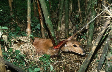 Bushbuck caught in poacher's snare Africa,Conservation,issue,issues,conservation issues,conservation issue,threat,threatened,mammal,mammals,bushbuck,antelope,antelopes,poached,poach,poacher,poachers,blood,graphic,snare,snared,muscle,bo