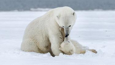 Female polar bear with cub Polar bears,bears,mother,motherhood,love,kiss,parent,parenthood,mothers day,snow,ice,cold,snowy,christmas,baby,young,Chordates,Chordata,Bears,Ursidae,Mammalia,Mammals,Carnivores,Carnivora,Snow and ice