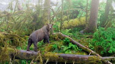 Brown bear in rainforest Bears,bear,grizzly,rainforest,forest,habitat,landscape,wet,rainy,rain,damp,mist,misty,fog,foggy,moss,trees,plants,mossy,Carnivores,Carnivora,Ursidae,Chordates,Chordata,Mammalia,Mammals,Africa,Semi-des