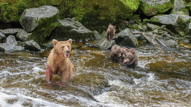 Female brown bear fishing for salmon with cubs Bears,bear,grizzly,mother,motherhood,hunting,fishing,salmon,salmon run,river,water,cubs,young,baby,babies,feeding,eating,family,Carnivores,Carnivora,Ursidae,Chordates,Chordata,Mammalia,Mammals,Africa,