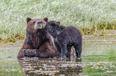 Female brown bear with cub Bears,bear,grizzly,mother,motherhood,cub,young,baby,cute,kiss,mothers day,juvenile,Carnivores,Carnivora,Ursidae,Chordates,Chordata,Mammalia,Mammals,Africa,Semi-desert,Europe,Broadleaved,North America,