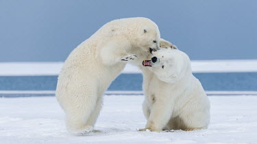 Polar bears play fighting Fighting,fight,aggressive,aggression,bite,biting,teeth,mouth,snow,ice,arctic,play fight,play,playing,cubs,cub,young,juveniles,Chordates,Chordata,Bears,Ursidae,Mammalia,Mammals,Carnivores,Carnivora,Sno