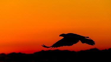 Bald eagle in sunset light Birds,bird,aves,birds of prey,sunset,orange,silhouette,negative space,flying,in flight,feathers,shadow,Accipitridae,Hawks, Eagles, Kites, Harriers,Falconiformes,Hawks Eagles Falcons Kestrel,Chordates,