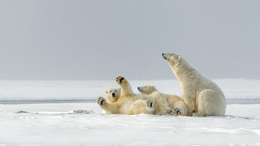 Female polar bear with cubs Polar bear,bears,cubs,baby,juveniles,funny,paws,ice,snow,christmas,white,negative space,mother,motherhood,parent,Chordates,Chordata,Bears,Ursidae,Mammalia,Mammals,Carnivores,Carnivora,Snow and ice,Nor