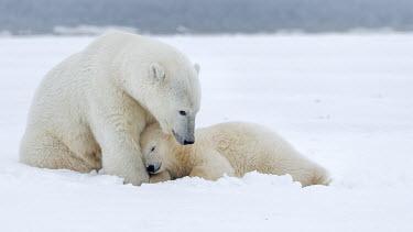 Female polar bear with sleeping cub Polar bear,bears,cub,baby,young,juvenile,sleeping,sleepy,ice,snow,christmas,mothers day,white,negative space,mother,motherhood,parent,Chordates,Chordata,Bears,Ursidae,Mammalia,Mammals,Carnivores,Carni
