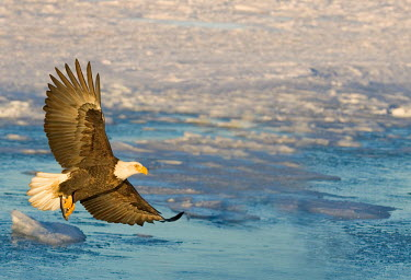 Bald eagle fishing on ice flow birds,bird,aves,flying,in flight,feathers,wings,hunting,hunt,with prey,predator,fishing,cold,ice,water,birds of prey,Accipitridae,Hawks, Eagles, Kites, Harriers,Falconiformes,Hawks Eagles Falcons Kest