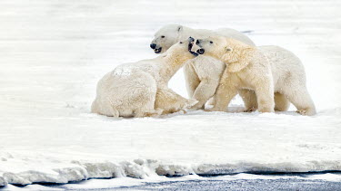 Polar bear cubs play fighting Fighting,fight,aggressive,aggression,bite,biting,teeth,mouth,snow,ice,arctic,play fight,play,playing,cubs,cub,young,juveniles,Chordates,Chordata,Bears,Ursidae,Mammalia,Mammals,Carnivores,Carnivora,Sno