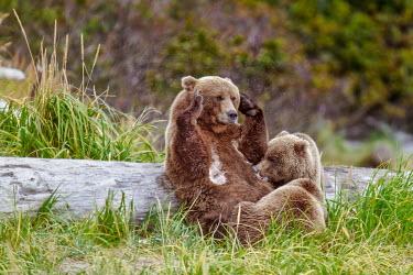 Female brown bear nursing cub Bears,bear,grizzly,mother,motherhood,hunting,young,baby,juvenile,feeding,eating,milk,nurse,nursing,Carnivores,Carnivora,Ursidae,Chordates,Chordata,Mammalia,Mammals,Africa,Semi-desert,Europe,Broadleave