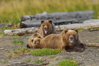 Female brown bear with cubs Bears,bear,grizzly,mother,motherhood,hunting,young,juvenile,cubs,tongue,Carnivores,Carnivora,Ursidae,Chordates,Chordata,Mammalia,Mammals,Africa,Semi-desert,Europe,Broadleaved,North America,Tundra,Ursu