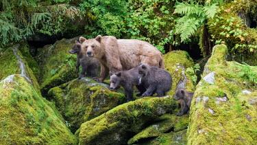 Female brown bear with four cubs Bears,bear,grizzly,mother,motherhood,hunting,young,juvenile,cubs,tongue,Carnivores,Carnivora,Ursidae,Chordates,Chordata,Mammalia,Mammals,Africa,Semi-desert,Europe,Broadleaved,North America,Tundra,Ursu
