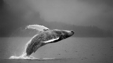 Humpback whale breaching action,Animalia,arctic,Appendix I,Aquatic,Atlantic,Balaenopteridae,breaching,Cetacea,Cetartiodactyla,Chordata,Chordate,fins,flippers,Mammalia,Mammals,marine,Megaptera,North America,novaeangliae,Ocean,