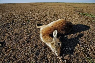 Kafue lechwe killed by poachers Africa,conservation,conservation issue,conservation issues,killed,kill,hunt,hunter,hunters,dead,death,dead animal,dead animals,wildlife trade,plains,fisheye,fish-eye,open,habitat,dry