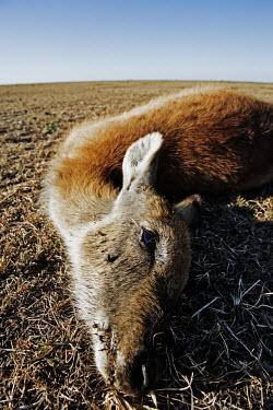 Kafue lechwe killed by poachers Africa,conservation,conservation issue,conservation issues,killed,kill,hunt,hunter,hunters,dead,death,dead animal,dead animals,wildlife trade,plains,fisheye,fish-eye,open,habitat,dry,close-up,close up