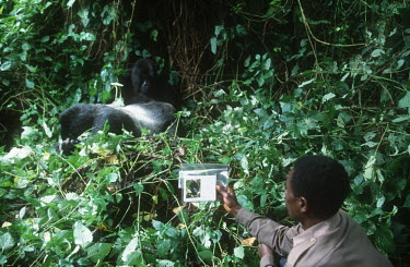 Mountain gorilla monitoring project Africa,conservation,conservation action,research,researcher,forest,rainforest,National Park,protected area,study,habitat,monitor,monitoring,watch,watching,observe,observing,image,photo,undergrowth,gor